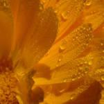 marigold dew