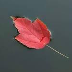 Leaf On The Lake