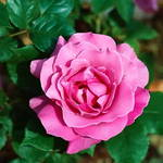 Lavendar Rose