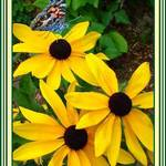 Butterfly & Brown-eyed Susan