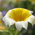 Longwood flower