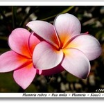 Plumeria 1