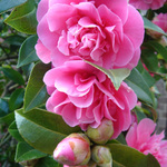   Camelia