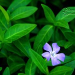 Perfect Periwinkle