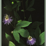 Passion Flower Taken With Scanner
