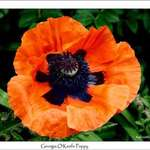 Georgia O&#39;Keefe Poppy