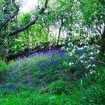 English bluebells & apple blossom