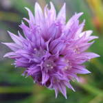 Chive&#39;s Flower