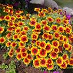 Colorful Daisey's