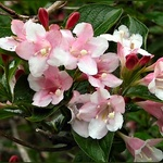 Weigela_V2