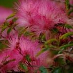 Fluffy Pink Flowers