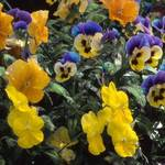 garden of pansies