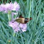 Moth hummingbird