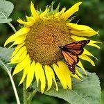 Butterfly&Sunflower