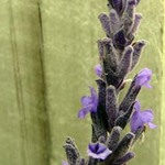 Lavender Flower