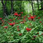 Bee Balm in Forest