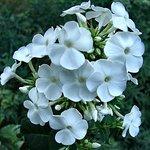 White garden phloxs