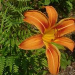Orange Lily