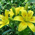 Yellow daylilies