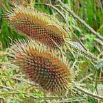 Teasels