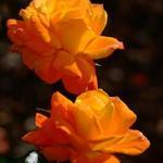 Firey Orange Roses