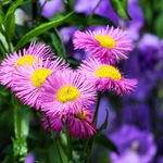 Flowers in our Garden - Fleabane Daisy