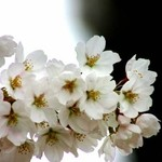 Cherry blossoms3
