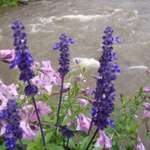 Flowers on a Mountain Stream