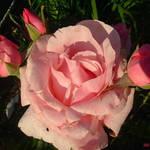 Pink Rose & Buds