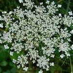 Queen Anne's Lace_1