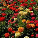 Carpet of Zinnias