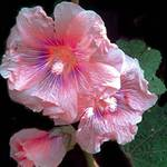 rainbow hollyhock