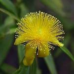 St. John&#39;s Wort