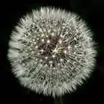Dandilion in Black