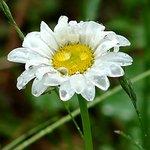 Rainy Day Daisy