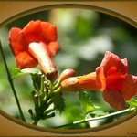 Trumpet Vine