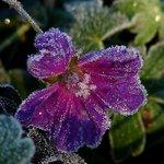 Frosty Geranium