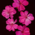 Pink Pettals
