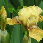 Yellow Iris