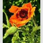 Beautiful Poppy