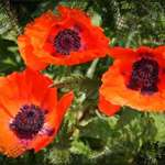 Poppy Photoart