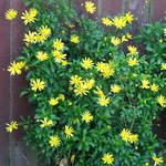 Yellow Wall Flowers