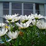 daisies at Raumati Beach house