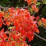 Gulmohar Flowers