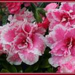 Azalea raindrops