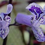 Giraffe Flower Mona Lavender, (giraffe look alike : )