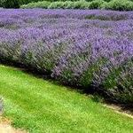 Lavender fields
