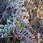 Frost on Bracken and Dewberries