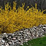 Forsythia By Stone Wall