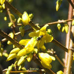 Forsythia Visitor